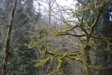 Moss-covered branches near Mt. Saint Helens