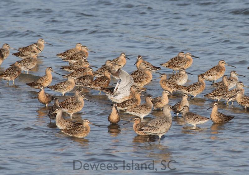 Dewees Island Shorebirds