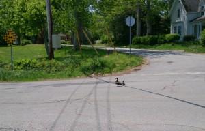 Ducks crossing.