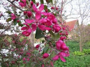 And the apple blossoms are at their peak.