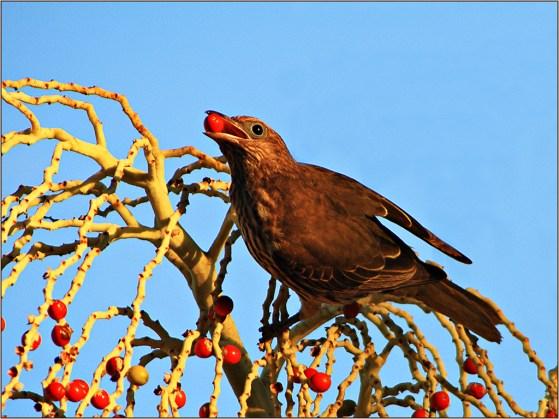BODFigbird116