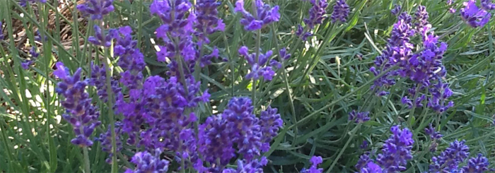 LAVENDERPLANTS copy