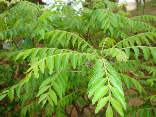 Indian Curry Leaves - health benefits (1/2)