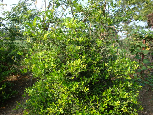 Kaffir Lime Leaves exotic flavor (2/2)