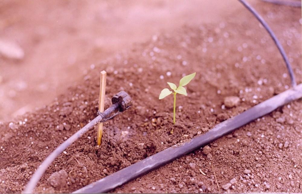 Bell pepper growing (1/3)