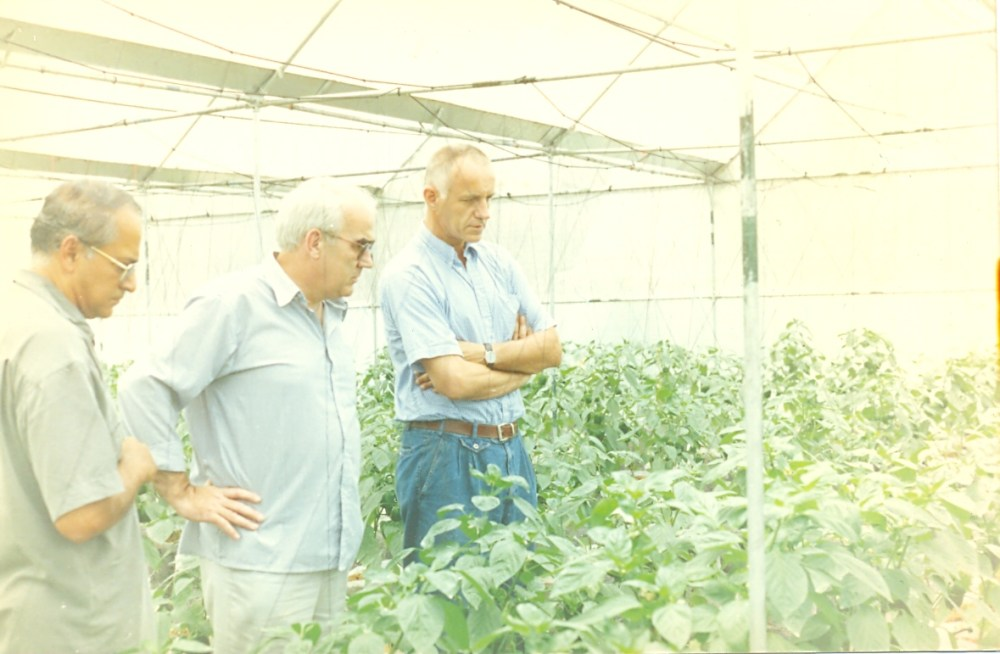 Bell peppers in production (3/6)