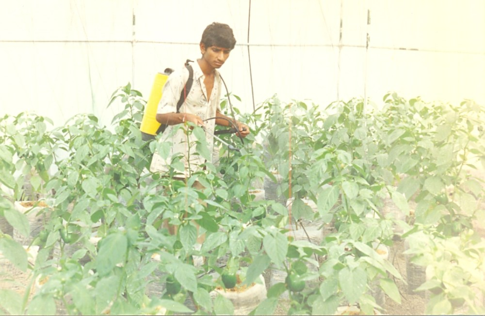 Bell peppers in production (4/6)