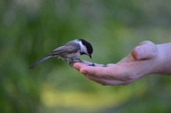 Marguerite dYouville chickadee