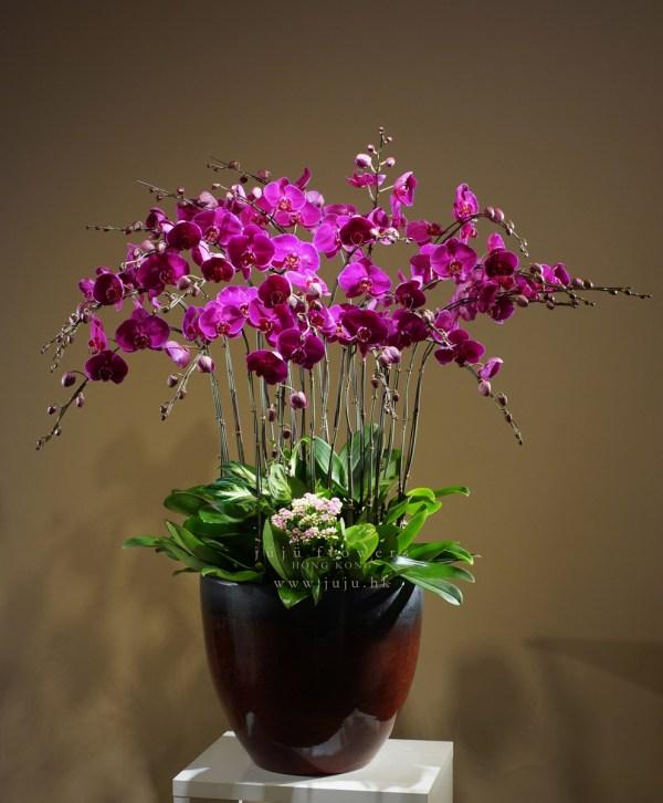 05026 – Moth Orchids, 26 stems