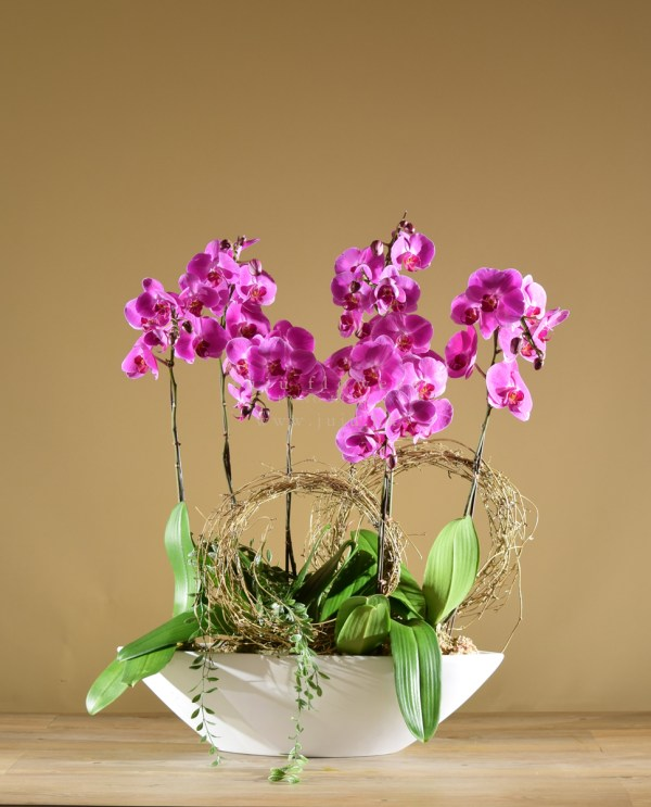 05006-Moth Orchids, 6 stems
