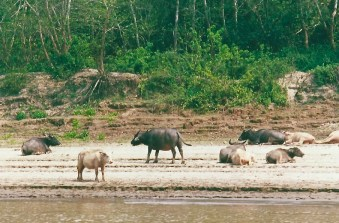 Buffalo on the Mekong River