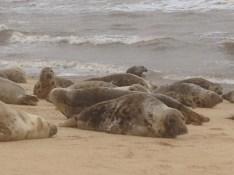 Seals at Horsey, Norfolk