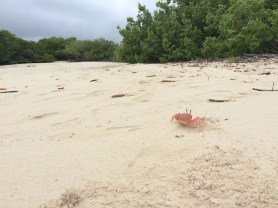 A shy crab runs back to its hole at 'Tortuga Bay'