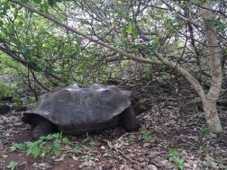 Giant tortoises were in the brink of extinction. Thanks to the conservation efforts, they are now being re introduced in all the islands