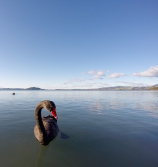 Verne shamlessly leads a black swan to think he has food, to take a closer photo