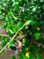 A sloth lazily eats some leafs, oblivious to the rain