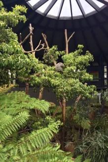An impossibly cute sleeping Koala at the Taronga Zoo