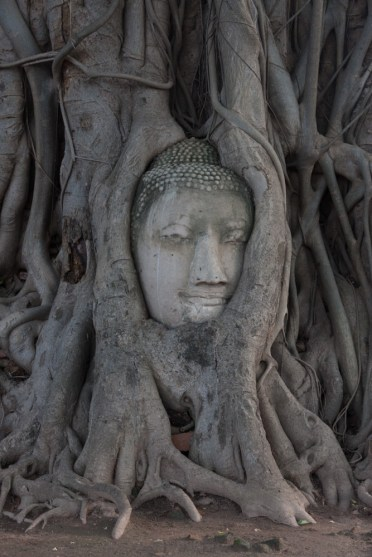 ... And Wat Mahathat, famous for the Buddha head intertwined with tree roots