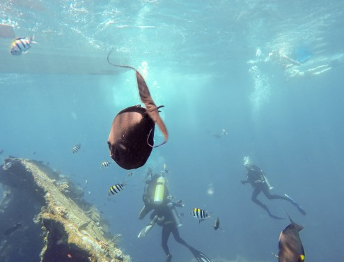 Boats, divers, snorkelers and fish in a crowded day at the USAT Liberty wreck