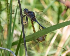 Dragonfly love, Ponte de Sor, Portugal (120mm, 1/180s, f11, ISO 320)