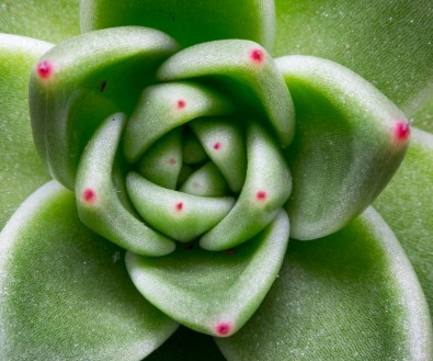Succulent plant (35mm with 11mm extension tube @ 0.4x magnification, diffused flash, f16, 1/75s, ISO 200)