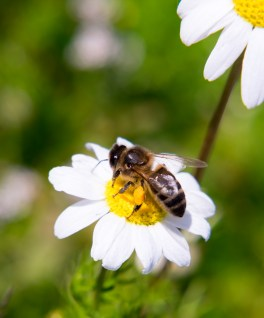 Bee collecting pollen from an oxeye daisy (100mm, ring light, f11, 1/250s, ISO 200)