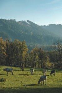 Cows in fields