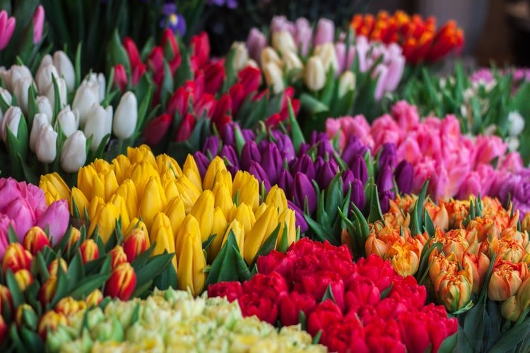 Tulips - alike but different