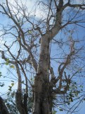 A Sacred Thai Tree that Wats are Often Built Around