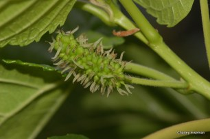 mulberry flower