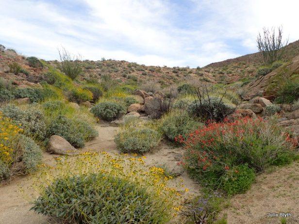 Tubb Canyon, brittle bush and jojoba