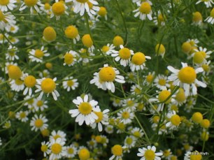 chamomile about to be picked for tea