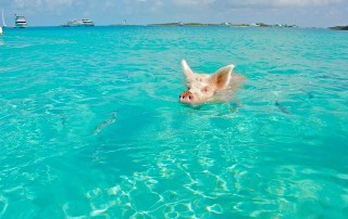 Pig Swimming Bahamas