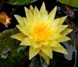 Pond Lily.