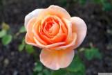 Parnell Rose Garden January 2013 008