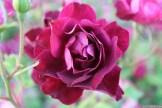 Parnell Rose Garden January 2013 035