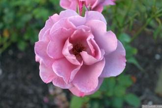 Parnell Rose Garden January 2013 041