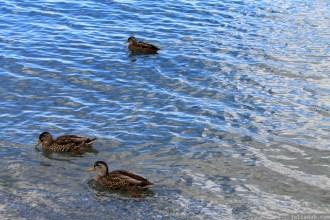 Ducks in Wanaka