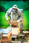 Bob Smokes the bees prior to pulling the super frames from the hive