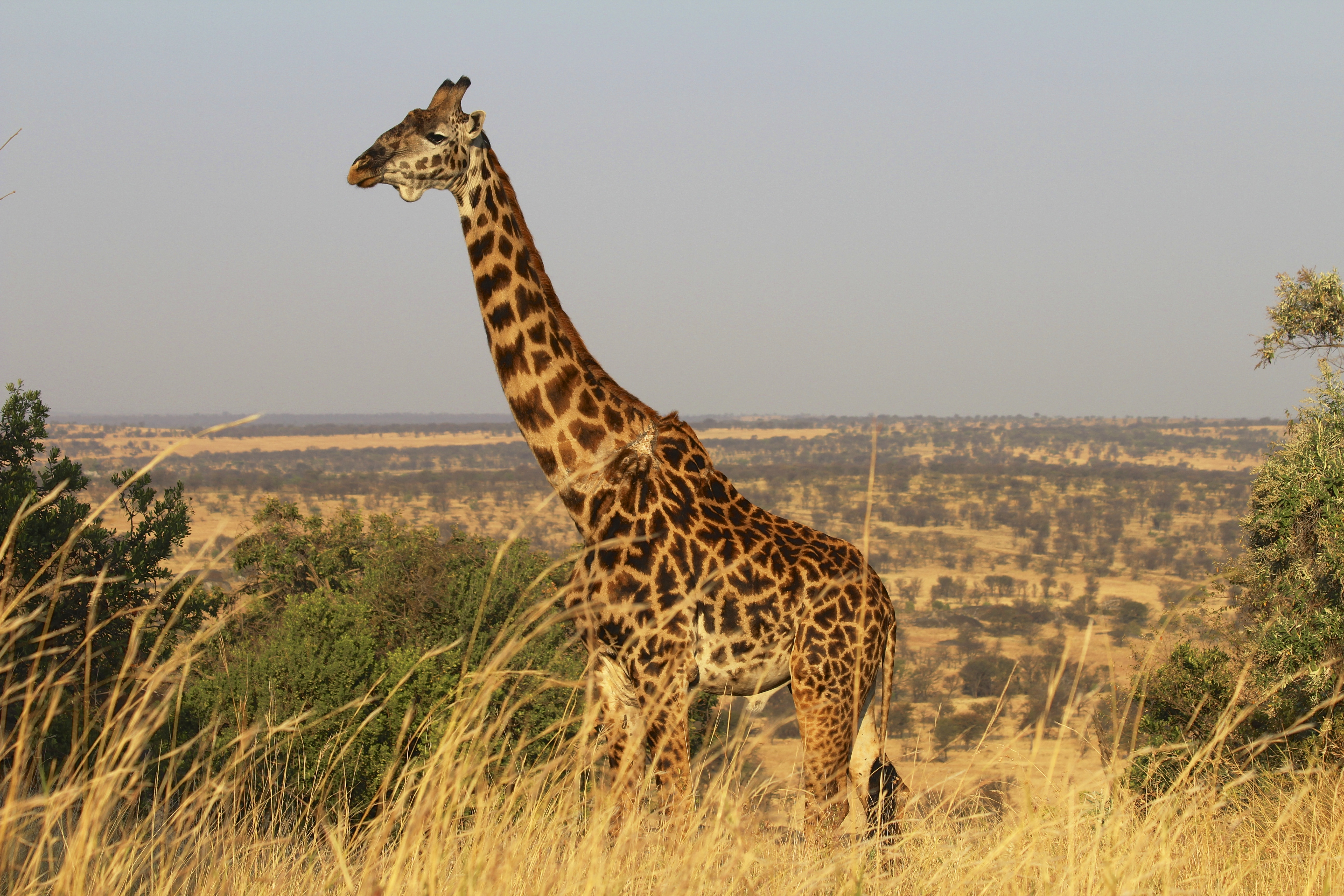 Join the 1st World Giraffe Day and help save these gentle