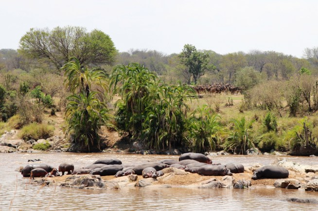 Hippos and wildebeests-Mara River, Serengeti