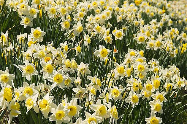 daffodil3_barb630