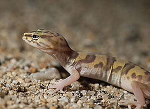 The Desert Banded Gecko can run with alarming speed.
