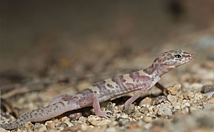 A Desert Banded Gecko grows back its tail.