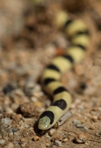 Shovel-nosed snake