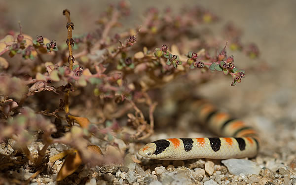 The red-black-white color bands also act as camouflage againt desert ground cover.