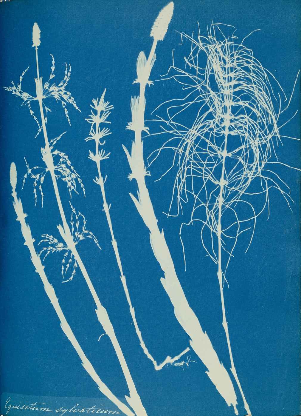 Blue prints: photography pioneer Anna Atkins's hand-crafted images – in pictures