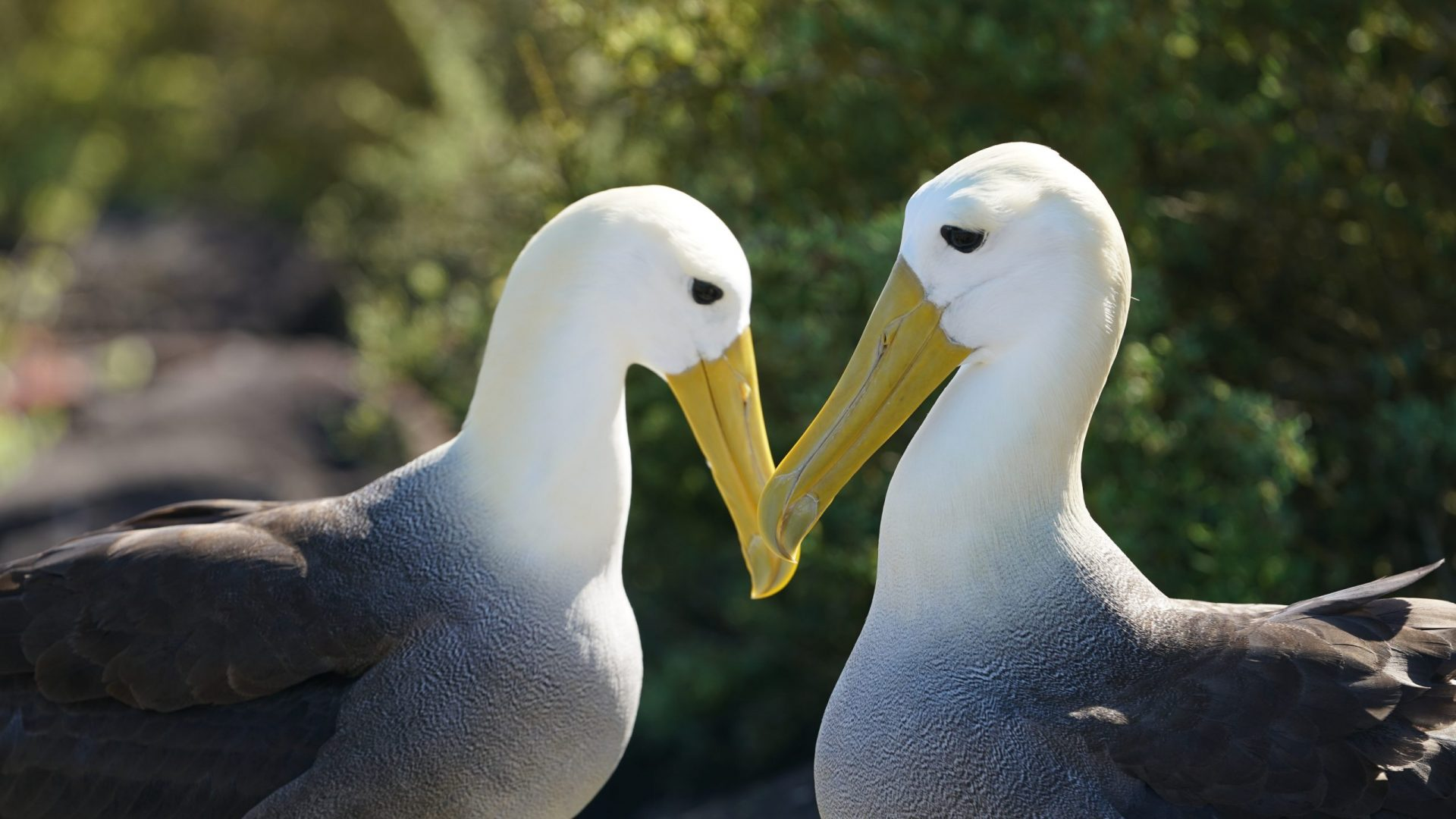 2 Albatross touching beaks with an energy of kindness