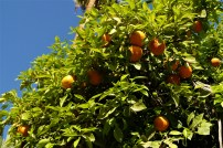 Orange Trees in the Palace gardens