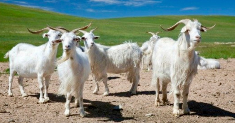cashmere goats (photo from mongolia travel guide)